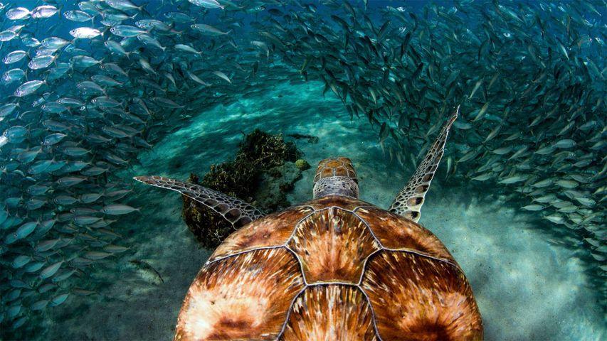 Green sea turtle with sardines near Playa Grandi Beach, Curaçao