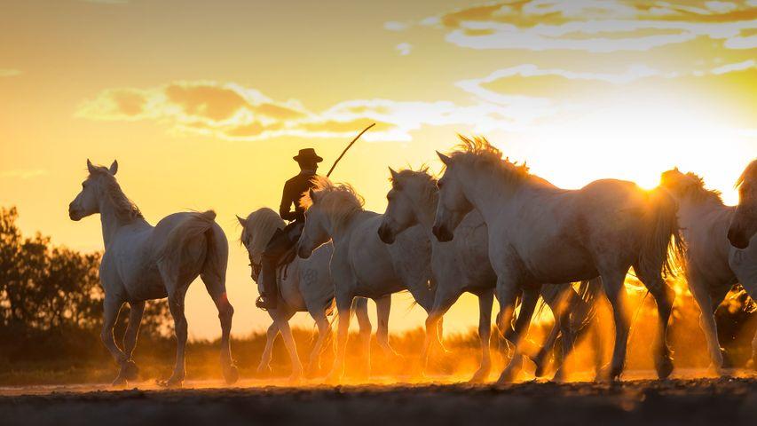 Cowboy accompagnant une harde de chevaux sauvages, Camargue, France