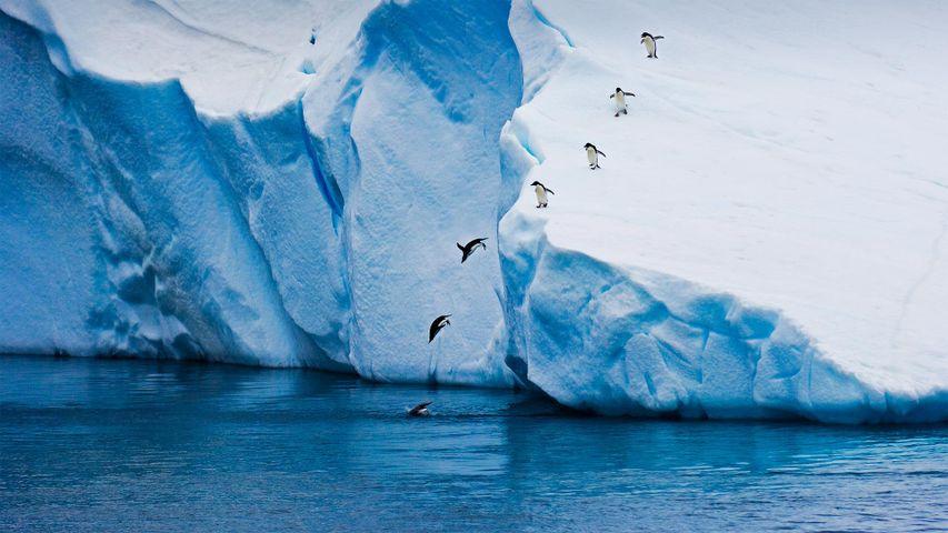 Adélie penguins diving off an iceberg in Antarctica