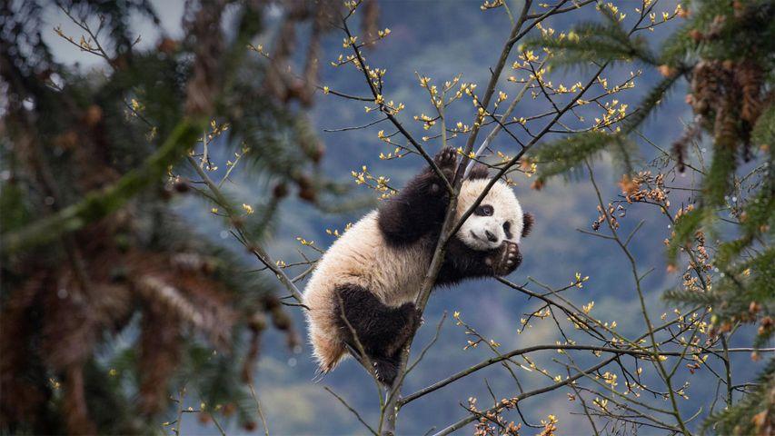 Giant panda cub in Bifengxia Panda Base, Sichuan, China