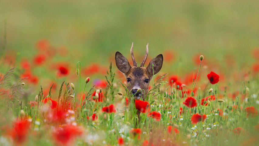 Roe deer (Capreolus capreolus) in meadow with poppies